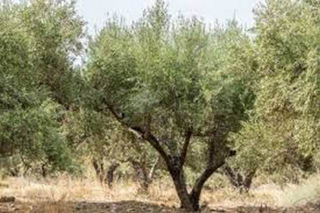 (For Sale) Land Agricultural Land  || Chania/Platanias - 4.100 Sq.m, 22.500€